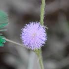 Adormidera, sensitive plant