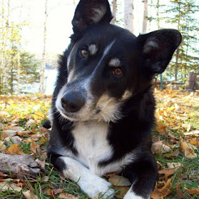 dog by Char Robertson - Animals - Dogs Portraits ( looking, fall colors, black and white, dog portrait, friendly )