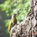 Greyheaded Woodpecker