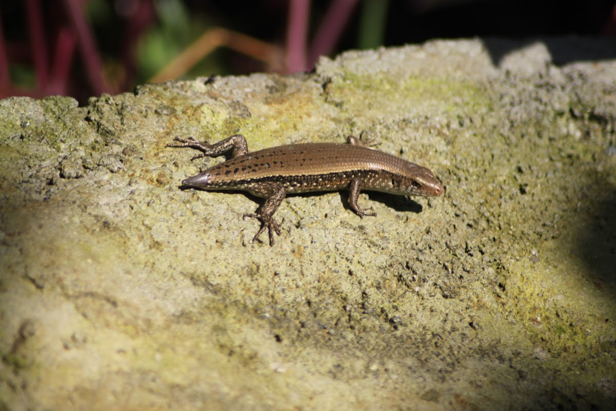 East Indian Brown Mabuya/ Many lined sun skink