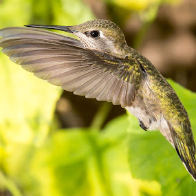 Female Anna by Jim Malone - Animals Birds