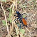Tarantula Wasp,