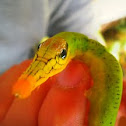 Sphinx moth caterpillar