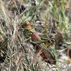 Guyana Giant Grasshopper