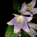nettle-leaved bellflower