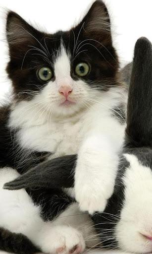 燕尾服猫壁纸