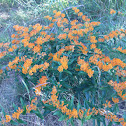Swamp milkweed, orange milkweed
