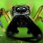 Male ant-mimic spider (black)