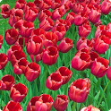 Red Tulips Live Wallpaper HD