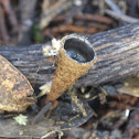 Common bird's nest fungi