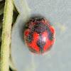 Cardinal ladybird (Vedalia beetle)