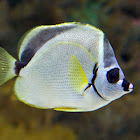 Barberfish
