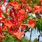 Royal Poinciana/Malinche