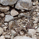 Meadow Viper (Νανόχεντρα)