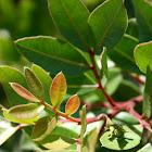 mastiekboom (Pistacia lentiscus)