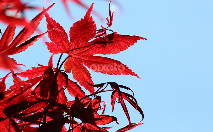 by Dipali S - Nature Up Close Leaves & Grasses ( red, tree, foliage, leaf, japanese, maple,  )