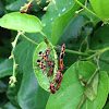 Red bugs, cotton stainer