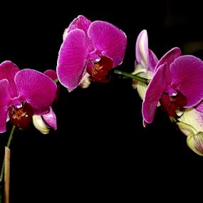 Velvet Jewels by Ruby Stephens - Flowers Single Flower ( black background, velvety, arch, purple, orchids, pink, phaeleonopsis, tropical flowers )