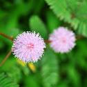 Mimosa or Makahiya