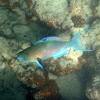 Redlip Parottfish