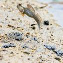 New Guinea mudskipper (廣東彈塗魚)