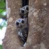 Collared Scops Owl (Juveniles)