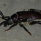 Broad-necked Root Borer