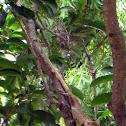 Oriental Garden Lizard (Changeable Lizard)