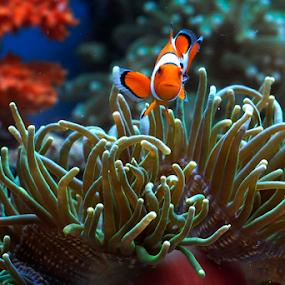 Nemo by Marcelino Moningka - Animals Fish ( under water, fish, nemo )