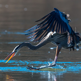 Great Blue going for Fish by Mike Watts - Animals Birds ( great blue heron, bird, fish, heron,  )