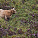 Bovino delle Highlands