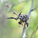 Jumping spider eating a wasp
