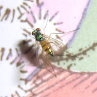 Amblypsilopus triscuticatus