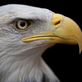 Eagle Portrait by Robert Daveant - Animals Birds ( bird, eagle, beak, feather, close-up, portrait,  )