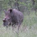 S White Rhino