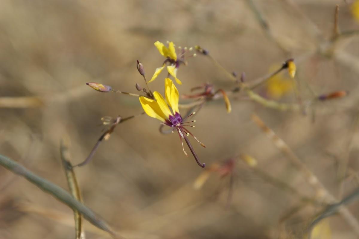 Cleome angustifolia