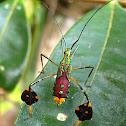 Passion Vine Bug