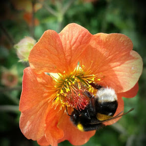 Little bumble bee going about his business! by Paul Jenking - Nature Up Close Other plants