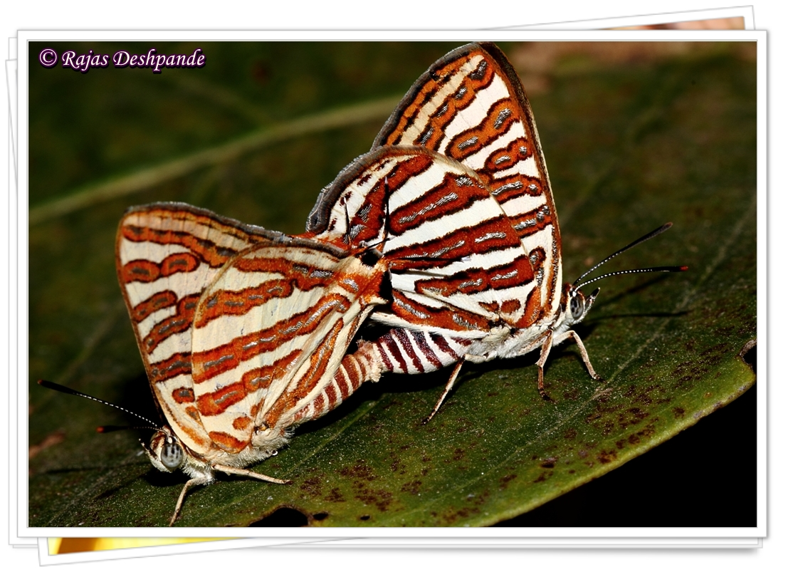 Common Silverline Butterfly