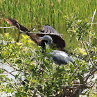 Anhinga and Little Blue Heron