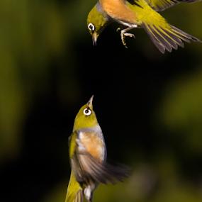 Vertical Defense by Trevor Bond - Animals Birds ( bird, nz, waxeye,  )