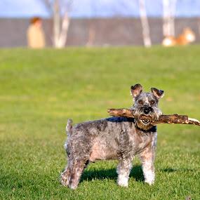 My Stick! by Miren Etcheverry - Animals - Dogs Portraits ( stick, nature, freshpond, pet, schnauzer, fresh pond, dog, landscape, toaster,  )