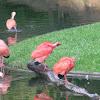corocoro - ibis escarlata - scarlet ibis