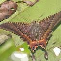 Eyetailed Moth