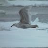 Glaucous Gull (juvenile)