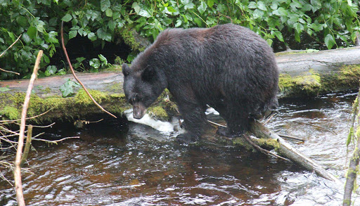 fishing-bear-Ketchikan-Alaska - Fishing Mama-bear style in Ketchikan Creek, Alaska.