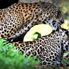 Mating Indian leopards