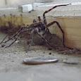 Ohio Spiders