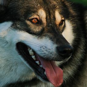 by Viks Pix - Animals - Dogs Portraits ( malamute, #garyfongpets, husky, wolf, #showusyourpets, wolfdog, portrait )