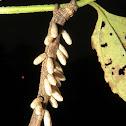 Braconid -Wasp /pupae